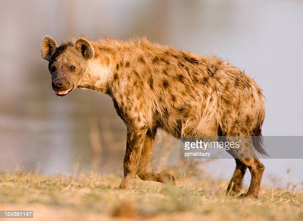 Close shot of a hyena standing