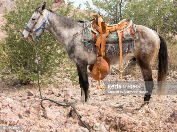close to a mexican saddle on a mule - mexican riding donkey stock photos and pictures