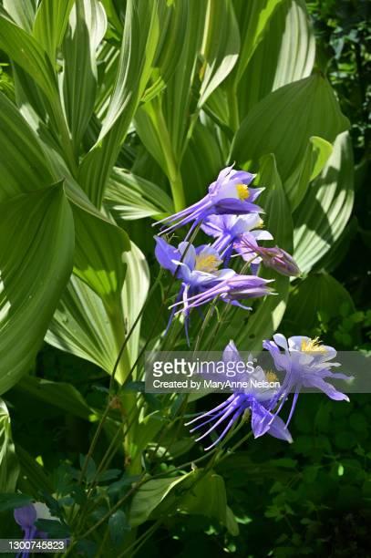 close to purple wild columbines in corn lilies - カリフォルニアバイケイソウ ストックフォトと画像