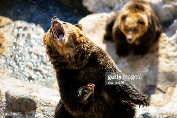 close up action of japanese brown bear  roaring at winter times - 自生 ストックフォトと画像