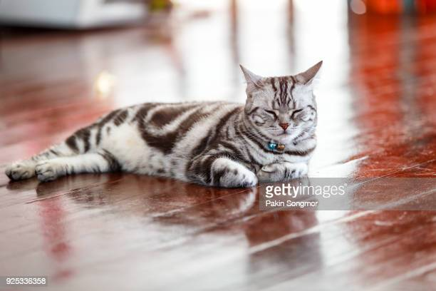 close up american short hair cat in the house. - shorthair cat stock pictures, royalty-free photos & images