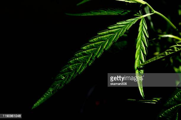 close up and macro  green foliage of cannabis sativa with dark background - légalisation photos et images de collection