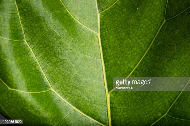 close up and macro photography of green foliage figus lyrata with white background - sustainability stock pictures, royalty-free photos & images