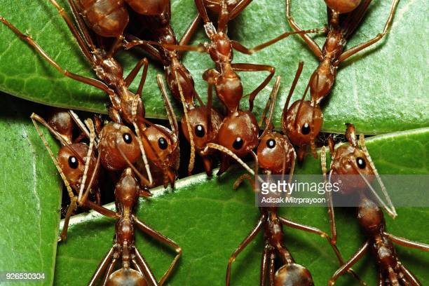Close up Ant biting green leaf.