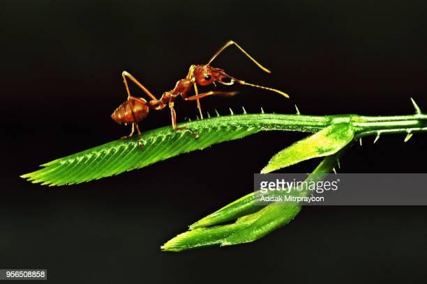 Close up ant on Acacia leaf (black background)