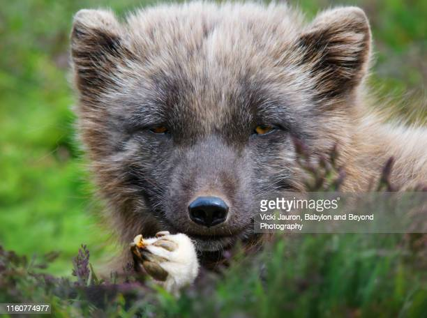 close up  arctic fox looking at camera in iceland - fuchspfote stock-fotos und bilder