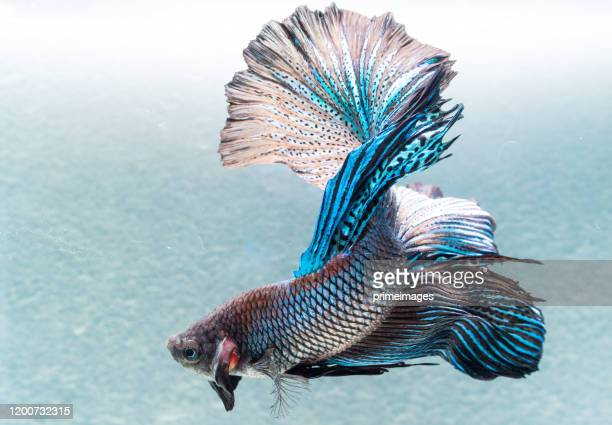 close up art movement of betta fish  siamese fighting fish isolated on black background.fine art design concept. - aquatic organism stock pictures, royalty-free photos & images