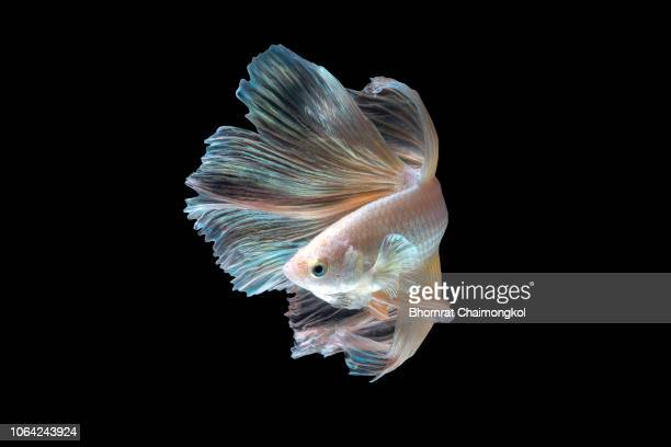 close up art movement of the siamese fighting fish or betta splendens on black background - barbatana parte do corpo animal - fotografias e filmes do acervo