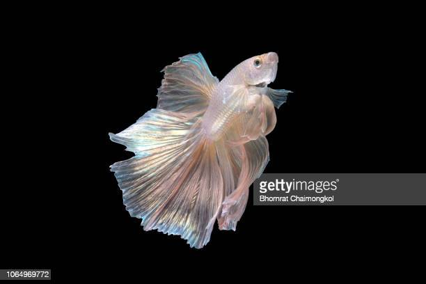 close up art movement of the siamese fighting fish or betta splendens on black background - organismo acuático fotografías e imágenes de stock
