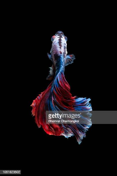 close up art movement of the siamese fighting fish - parte do corpo animal - fotografias e filmes do acervo