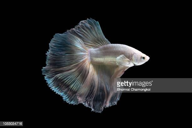 close up art movement of the siamese fighting fish - süßwasser stock-fotos und bilder