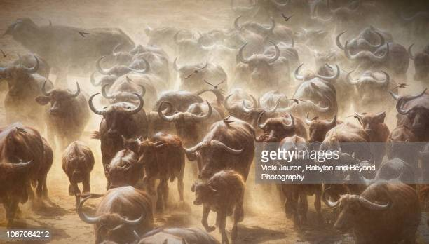 close up artistic view of cape buffalo running at chitake springs, zimbabwe - oxen stock photos and pictures