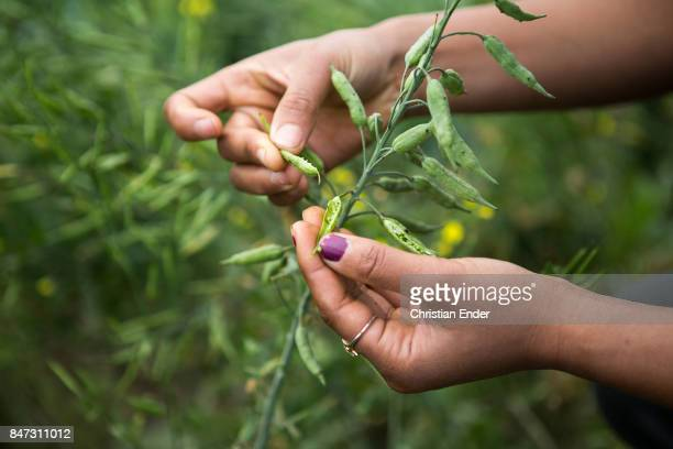 Close up at two hands harvesting mustard seeds beside a village near Birgunj