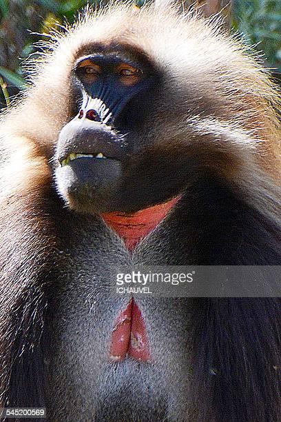 close up baboon gelada Ethiopia