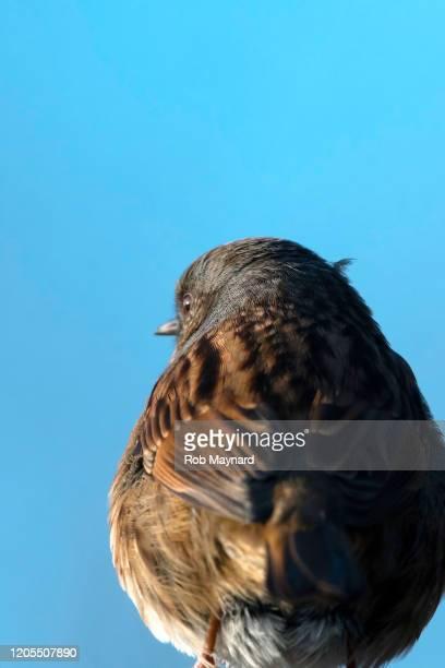 close up backside of robin - peso pluma fotografías e imágenes de stock