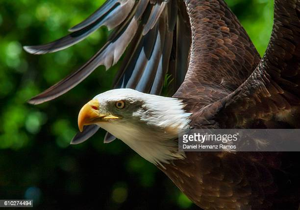 Close up Bald eagle headshot with outspread wings . Haliaeetus leucocephalus
