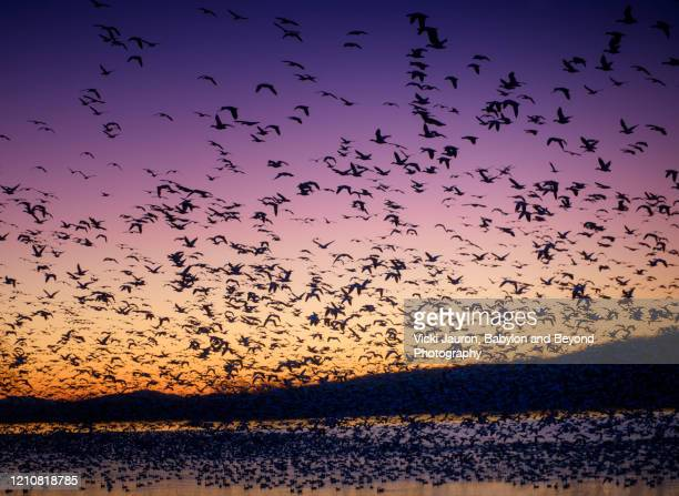close up beauty of snow geese in flight at middle creek, pennsylvania - 水鳥 ストックフォトと画像