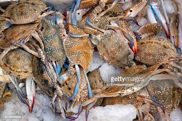 close up blue crab in a market stall. - emreturanphoto stock pictures, royalty-free photos & images