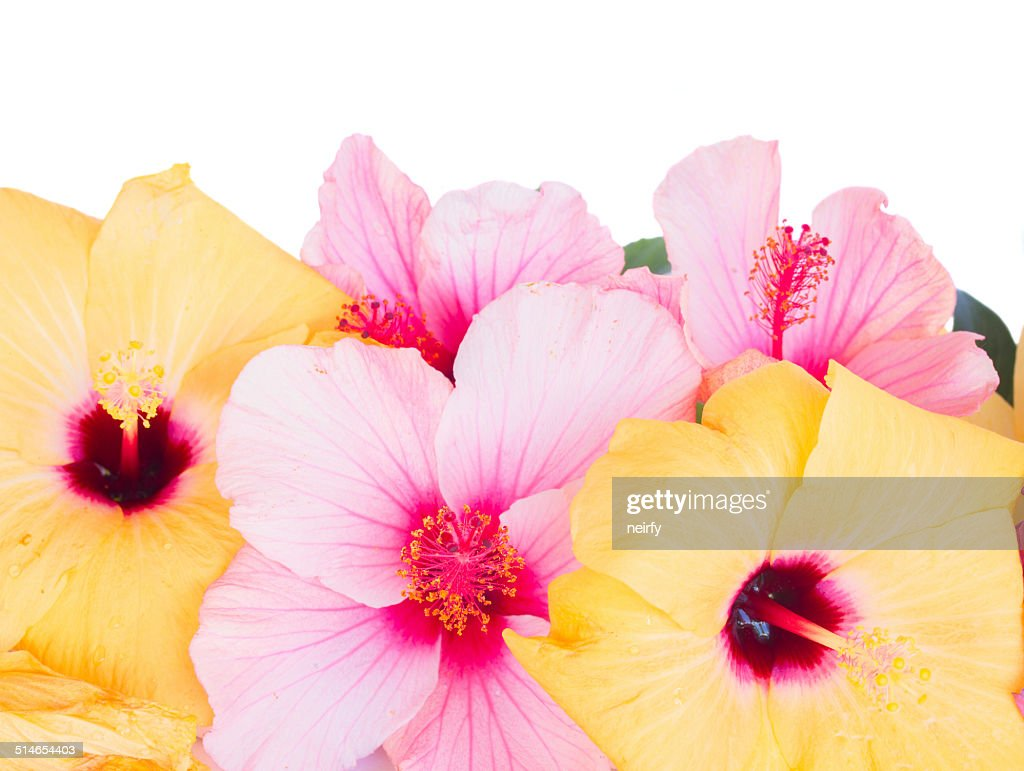 Close Up Border Of Colorful Hibiscus Flowers Stock Photo Getty Images
