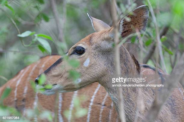 Close up browsing female bushbuck.