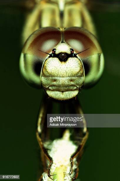 close up butterfly face and compound eyes (vertical) - bug eyes stock photos and pictures