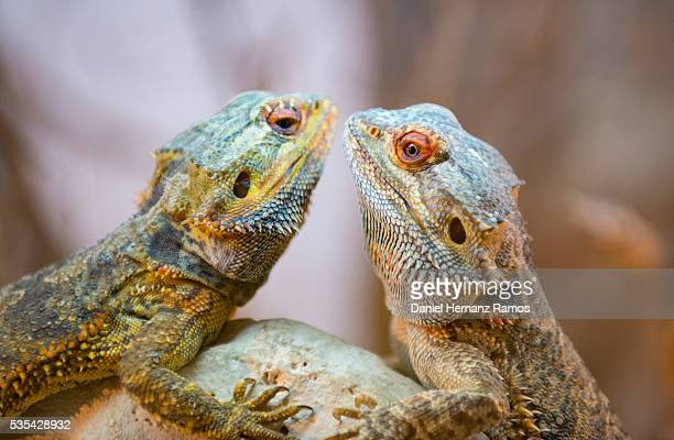 A close up Central bearded dragon