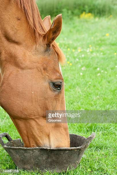 Close up chestnut horse eating/drinking from feed bucket.