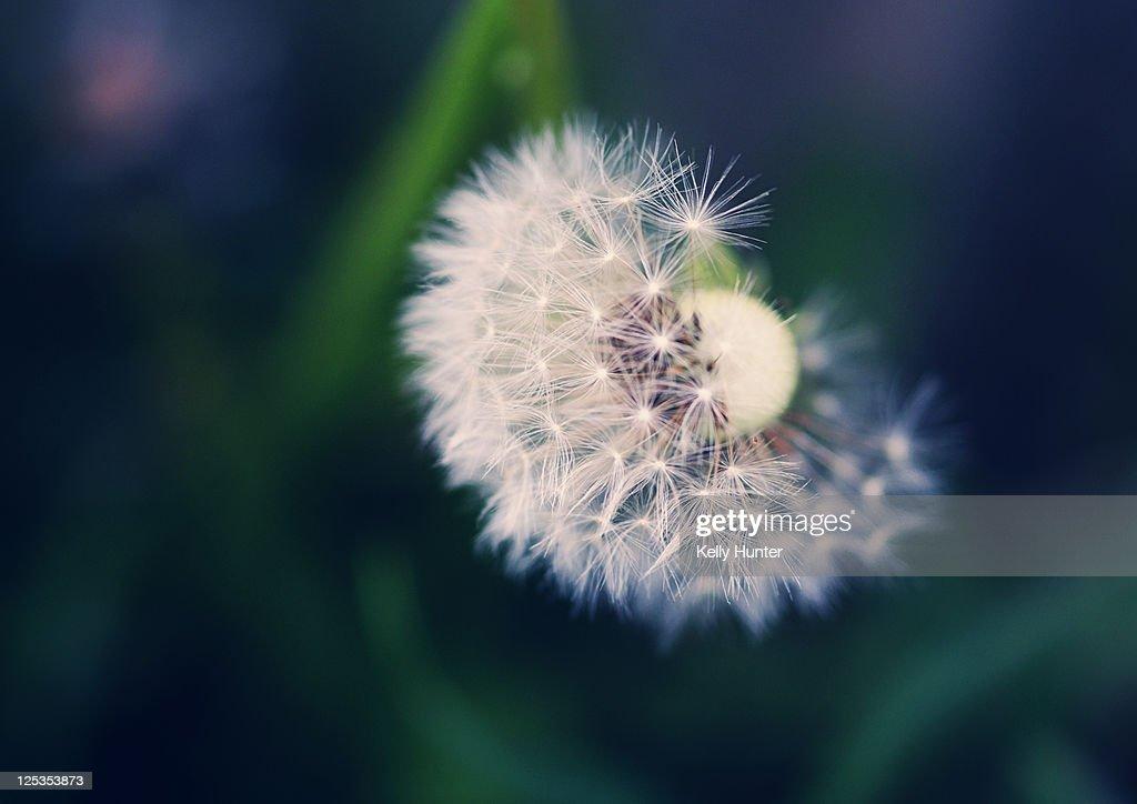 Close up Dandelion : Stock Photo