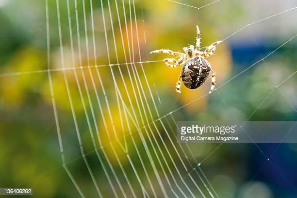 Close up detail of a European garden spider spinning a web taken on September 14 2008