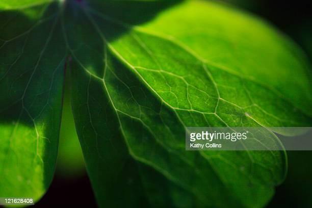 Close up detail of fresh green leaf
