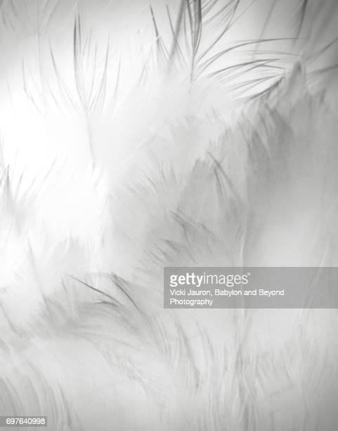 close up detail of swan feathers - feather stock pictures, royalty-free photos & images