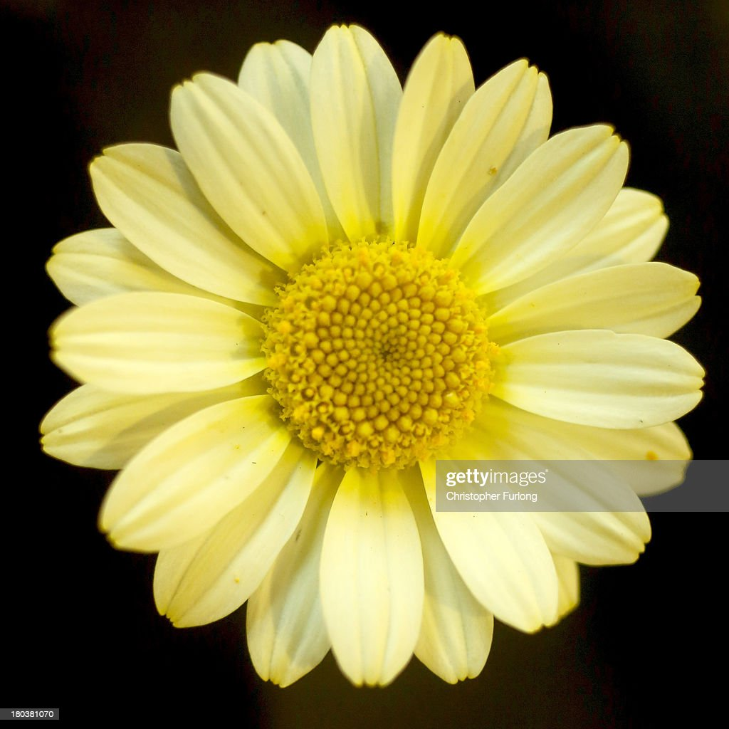 A close up detailed view of the flower of an Anthemis Sauce Hollandaise during preparations for the annual Harrogate Autumn Flower Show on September 12, 2013 in Harrogate, England. Gardeners and horticulturalists from across Britain descend on the Yorkshire Showground every Autumn to show off their prized crops of vegetables, flowers and plants in the hope of a coveted award from the judges. The show which is organised by the North of England Horticultural Society is open to the public from 13-15 September.