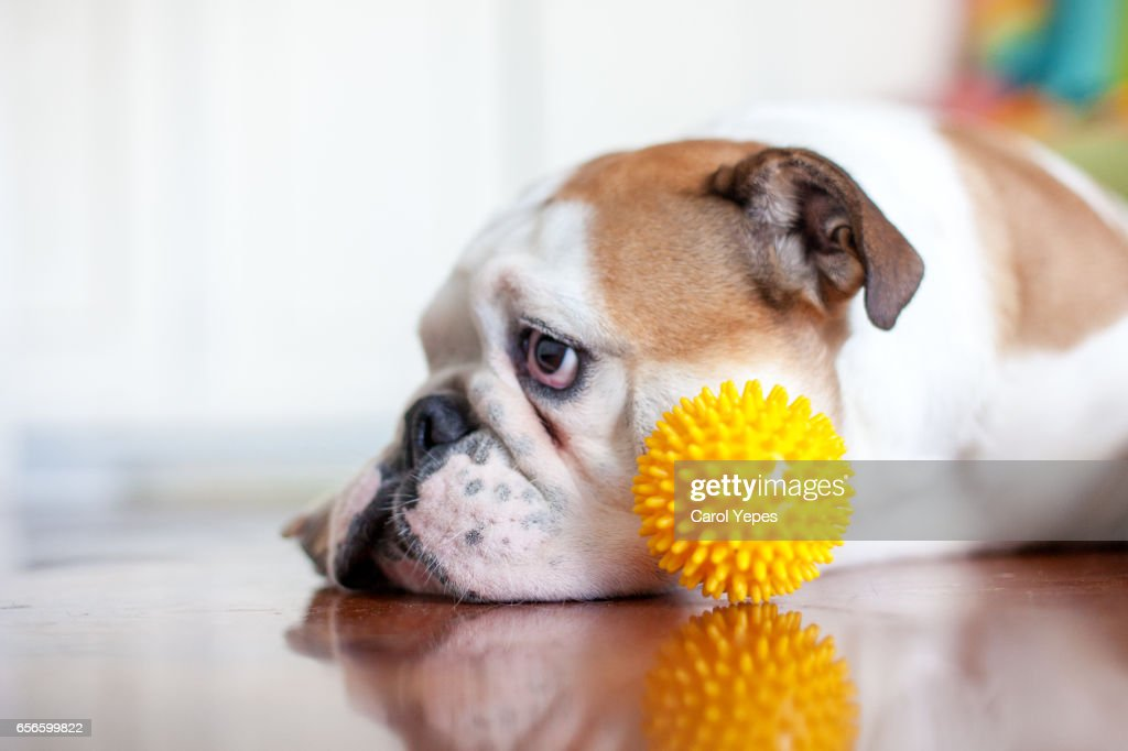 close up  dog  with plastic ball : Stock Photo