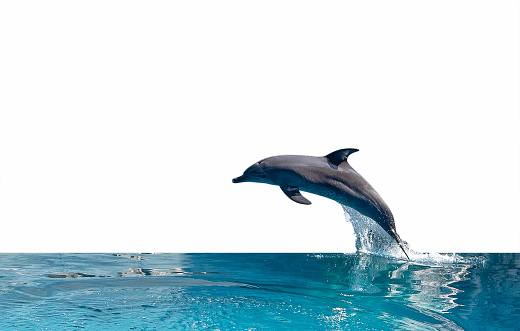 Close up Dolphin is Jumping on The Water Surface Isolated on White Background with Clipping Path 1194800540