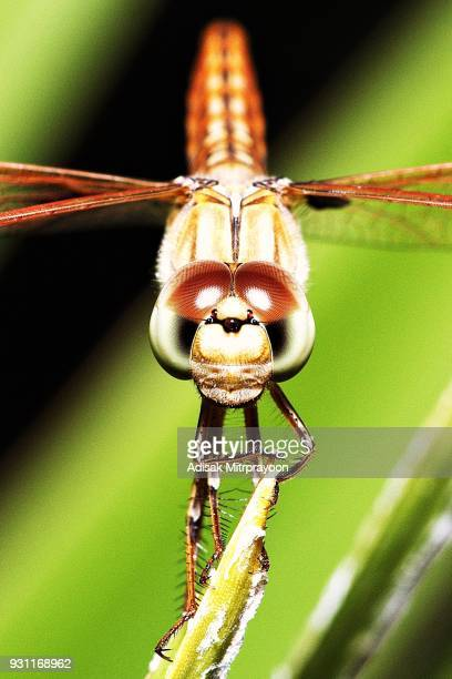 close up dragonfly looking at camera. - bug eyes stock photos and pictures
