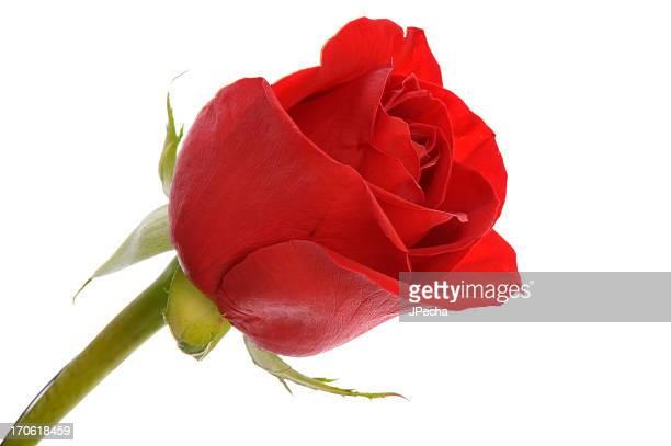 Close Up Elegant Single Red Rose