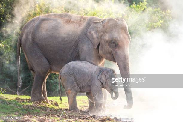 close up elephants family drinking at a waterhole crossing the river  in nature north of thailand - north stock pictures, royalty-free photos & images
