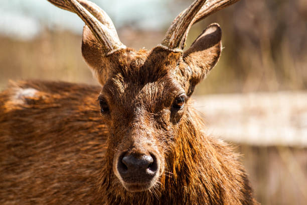 A Close Up Face Image Of A Deer With Big Horns