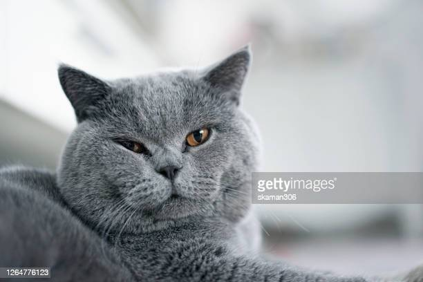 close up face of british shorthair cat  feeling comfortable and sleep on the floor - kitten stock pictures, royalty-free photos & images