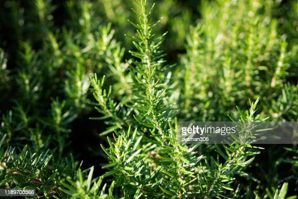 close up foliage green rosemary plant - rosemary stock pictures, royalty-free photos & images