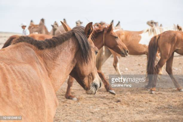 Close up for a young horse among the rest of the herd reared by Mongolian nomads in the Gobi desert.