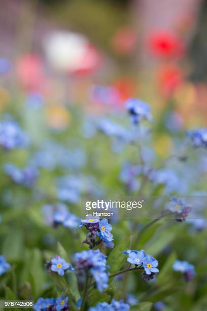 close up forget-me-nots in blossom - jill harrison stock pictures, royalty-free photos & images