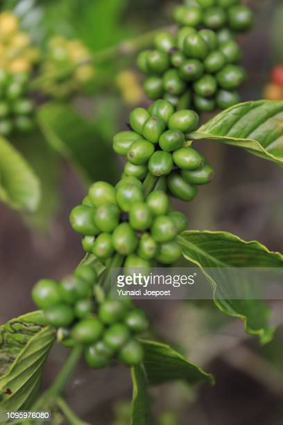 Close Up Fresh organic Red Coffee Cherries, Raw Berries Coffee Beans on Coffee Tree Traditional Plantation in Sumatra, Indonesia
