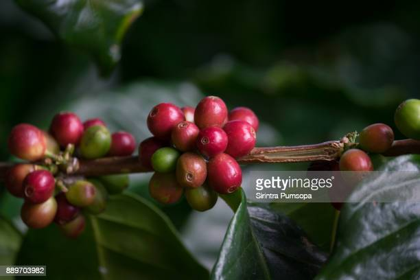 close up fresh organic red coffee cherries, raw berries coffee beans on coffee tree plantation with sunlight in doi chang, chiang rai, thailand - 栽培する ストックフォトと画像