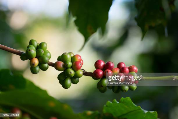 close up fresh organic red coffee cherries, raw berries coffee beans on coffee tree plantation with sunlight in doi chang, chiang rai, thailand - ripe stock pictures, royalty-free photos & images