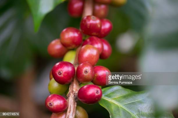 Close up Fresh organic red coffee cherries, raw berries coffee beans on coffee tree plantation with sunlight in Doi Chang, Chiang Rai, Thailand