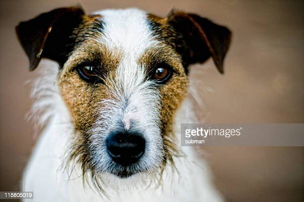 close up front view of a cute parson terrier - jack russell terrier bildbanksfoton och bilder