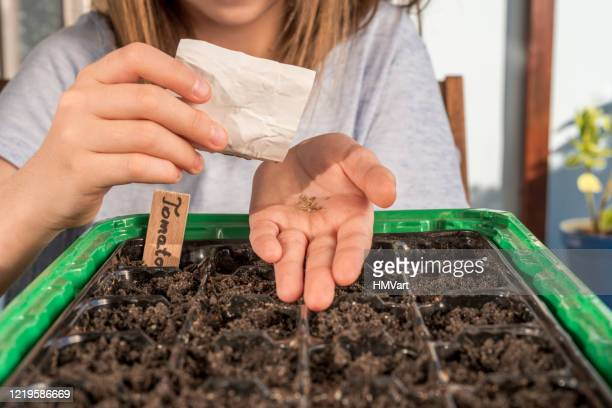 close up girl on balcony in springtime sowing organic vegetables seeds for vegetable garden - tomato stock pictures, royalty-free photos & images