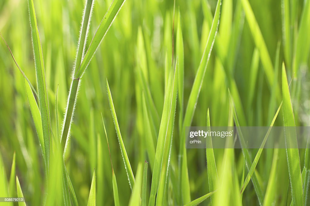 Gros plan d'herbe : Photo