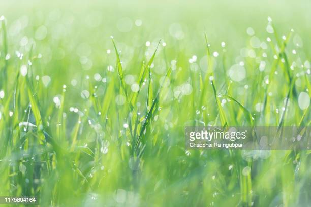close up green blade of grass and rice food with bokeh and blurred leaf background. nature background pattern concept. - みずみずしい ストックフォトと画像